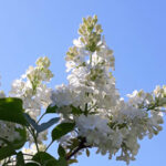 Valkoisen syreenin kukka sinistä taivasta vasten